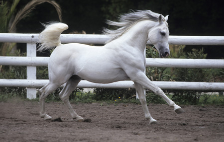PUR SANG ARABE, CHEVAL PUR SANG ARABE, ARAB THOROUGHBRED HORSE